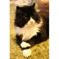 tuxedo-cat-with-crossed-paws-thumbnail