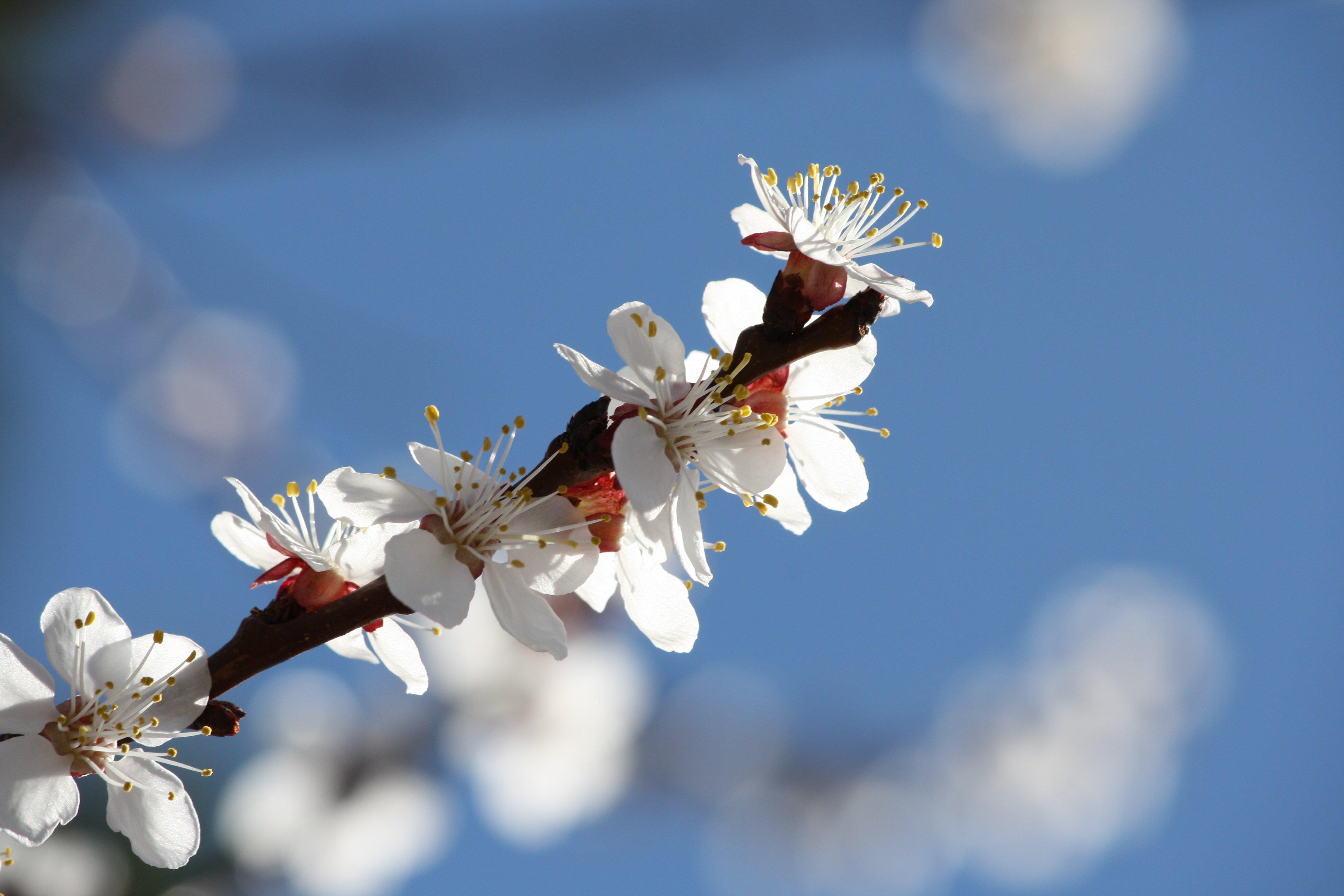 White Apricot Blossoms Close Up Photos Public Domain