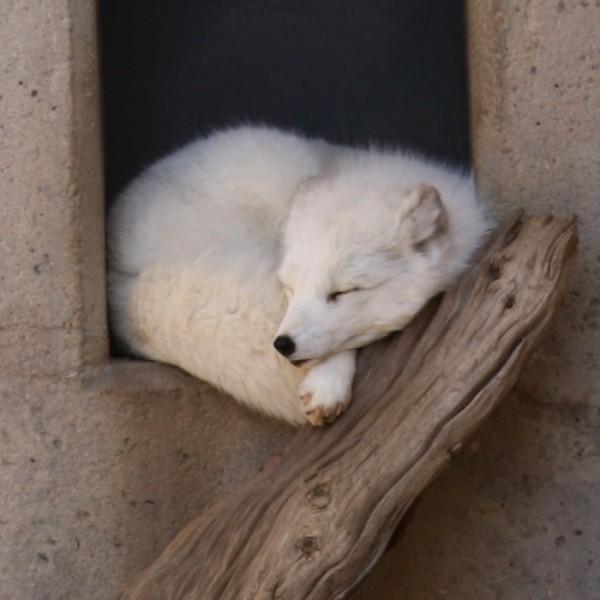 White Arctic Fox Sleeping - free photo
