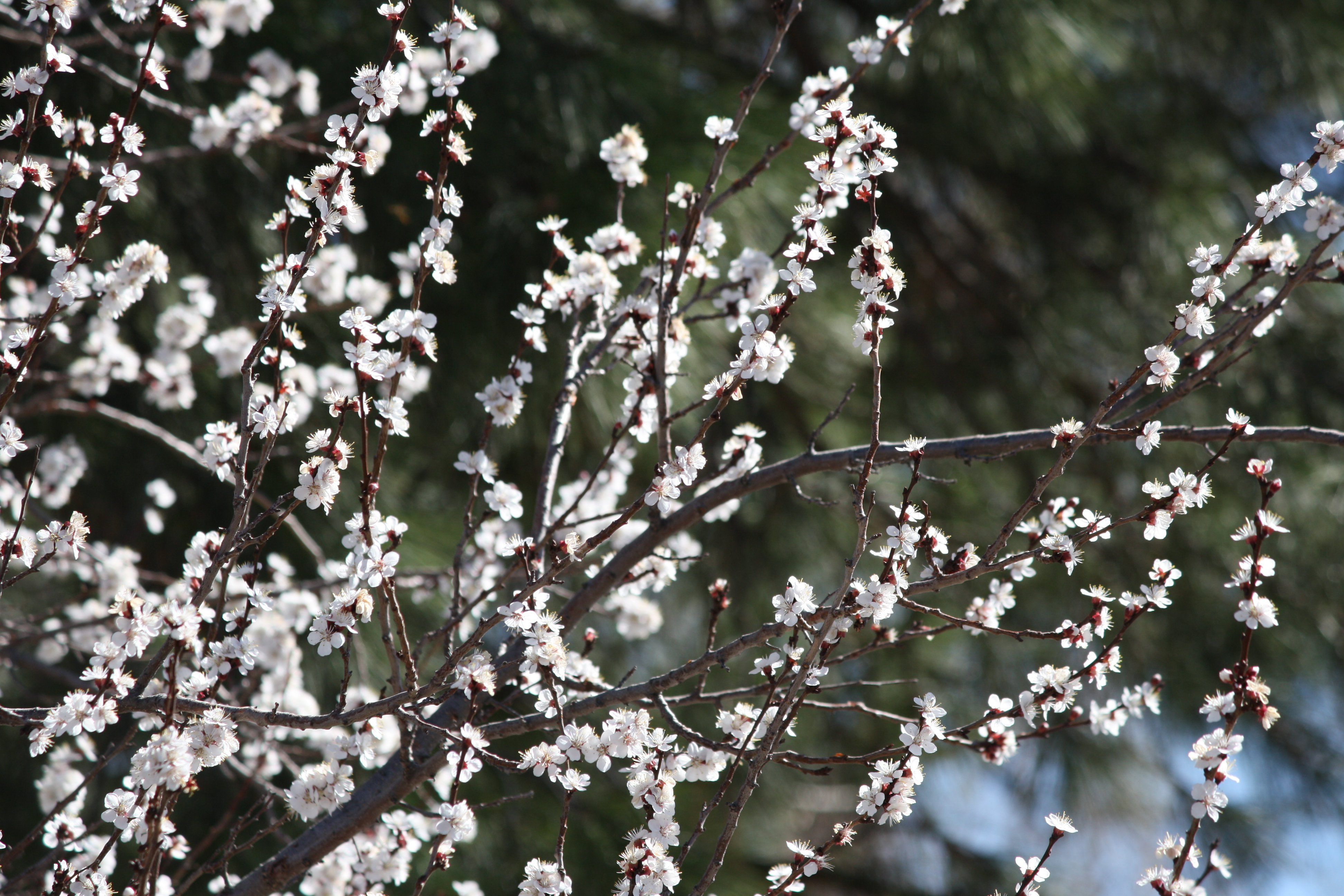 White Blossoms On Flowering Apricot Tree Picture Free
