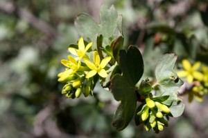 Yellow Flowers on Clove Currant Bush - Free High Resolution Photo