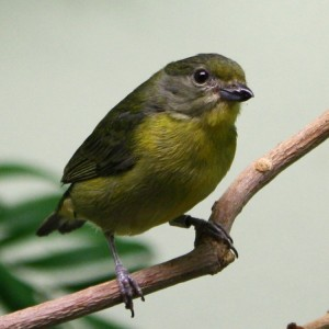Yellow Violaceous Euphonia Bird - Free Photo