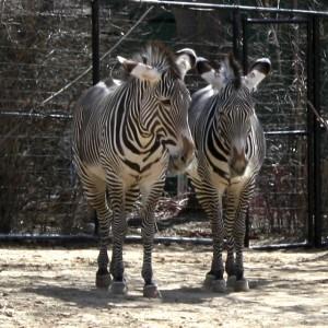 Zebras - free photo
