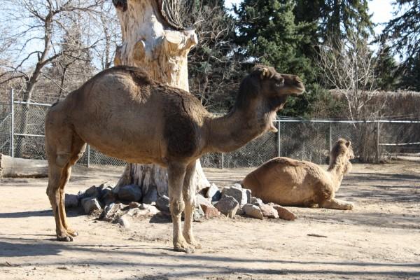 Arabian Camel - Free High Resolution Photo