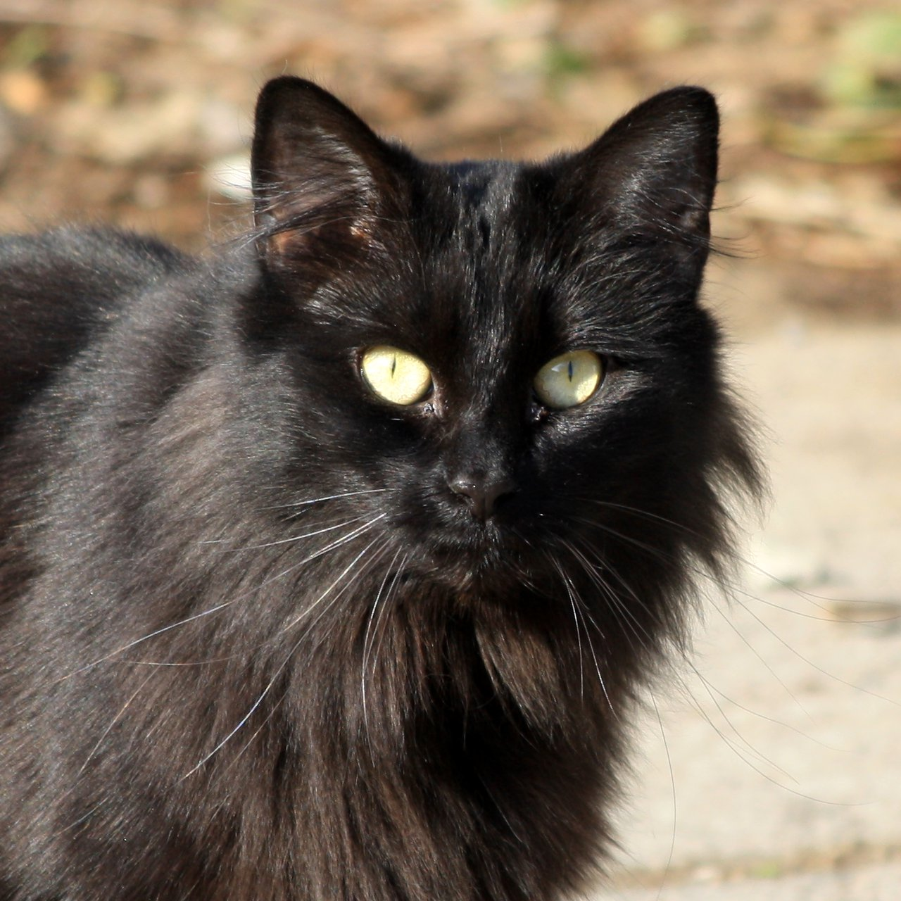 Black Cat Close Up Picture | Free Photograph | Photos ...