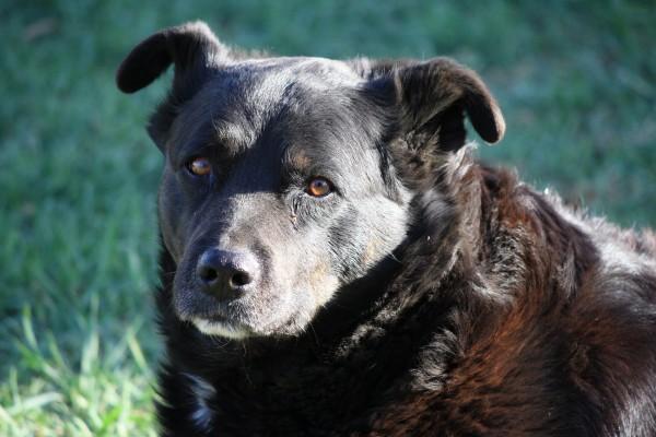 Black Dog Close Up - Free High Resolution Photo