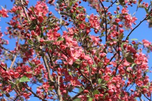 Blooming Pink Crabapple Tree - Free High Resolution Photo