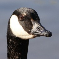 Canadian Goose Face Close Up - Free High Resolution Photo