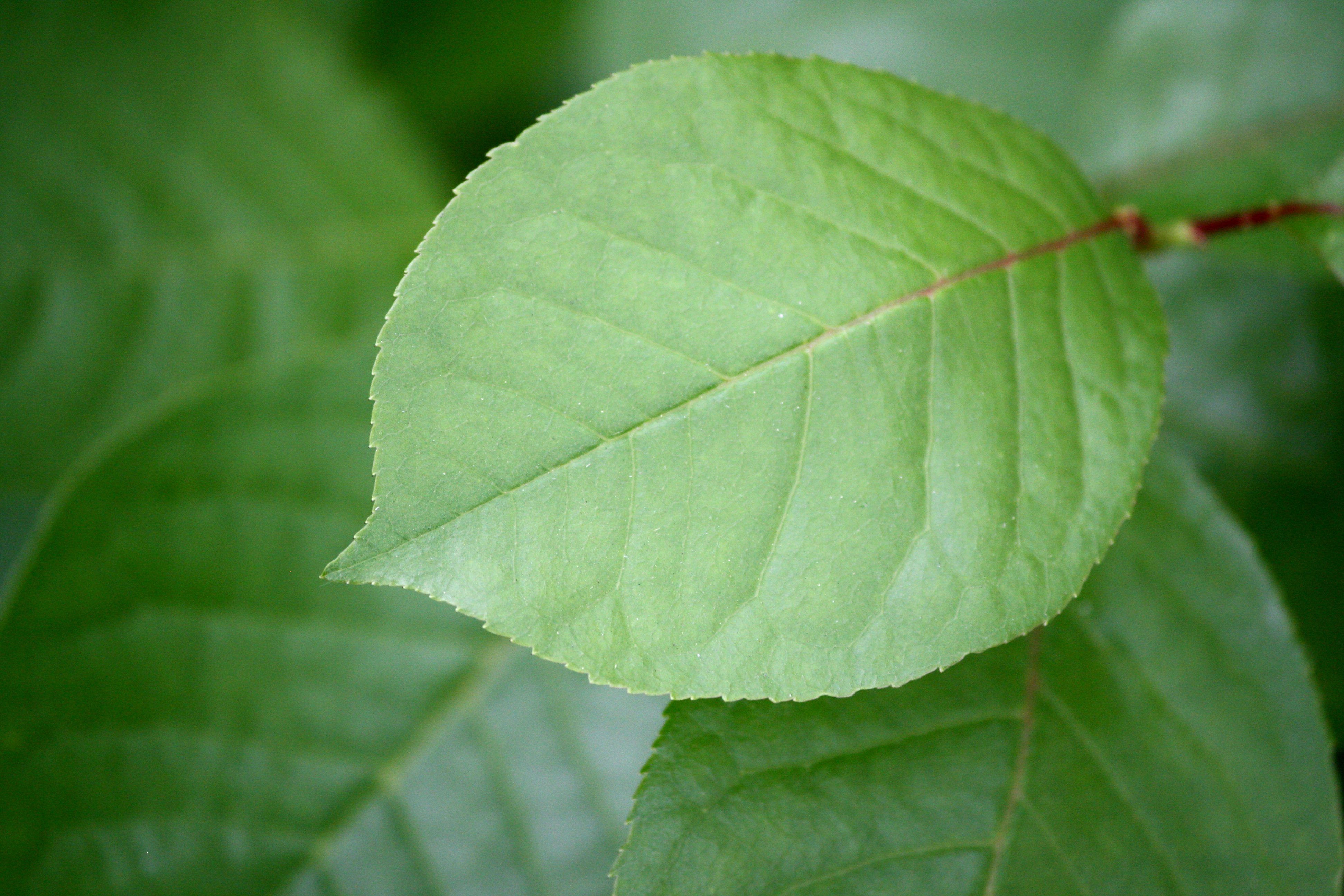Leaf Chokecherry leaf ...