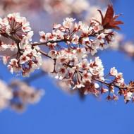 Cistena Plum Blossoms - Free High Resolution Photo