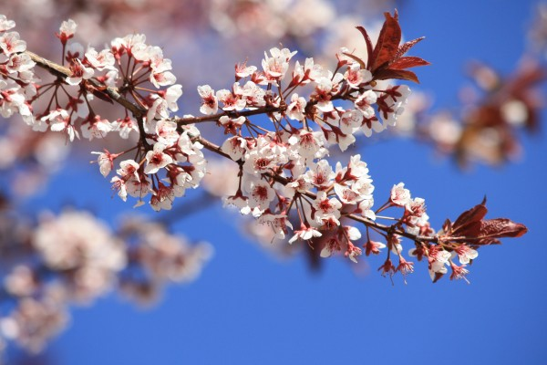 Cistena Plum Blossoms - Free High Resolution Photo