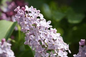 Cluster of Purple Lilacs - Free High Resolution Photo