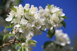 Cluster of White Blossoms - Free High Resolution Photo