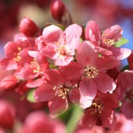 Coral Pink Blossoms - Free High Resolution Photo