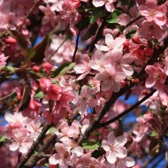 Crabapple Blossoms Pink - Free High Resolution Photo