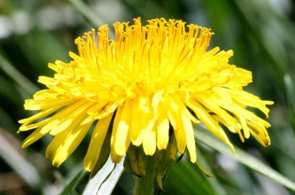 Dandelion Close Up - Free photo