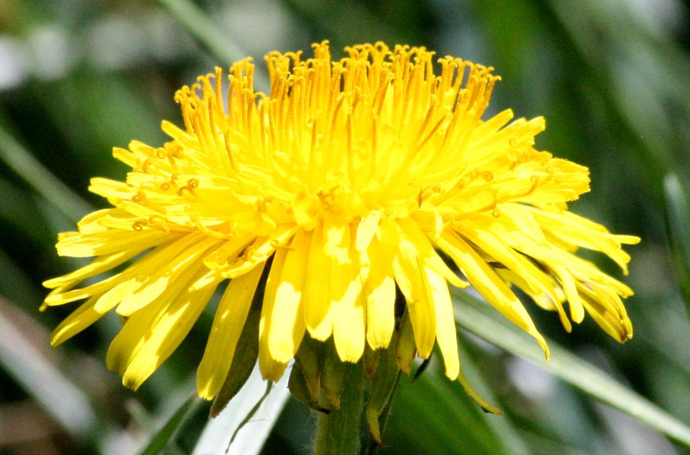 Dandelion Close Up Picture Free Photograph Photos