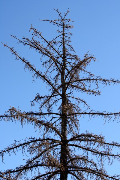Dead Pine Tree Picture Free Photograph Photos Public