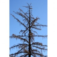 dead-pine-tree-thumbnail