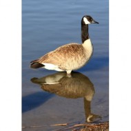 goose-standing-in-water-thumbnail
