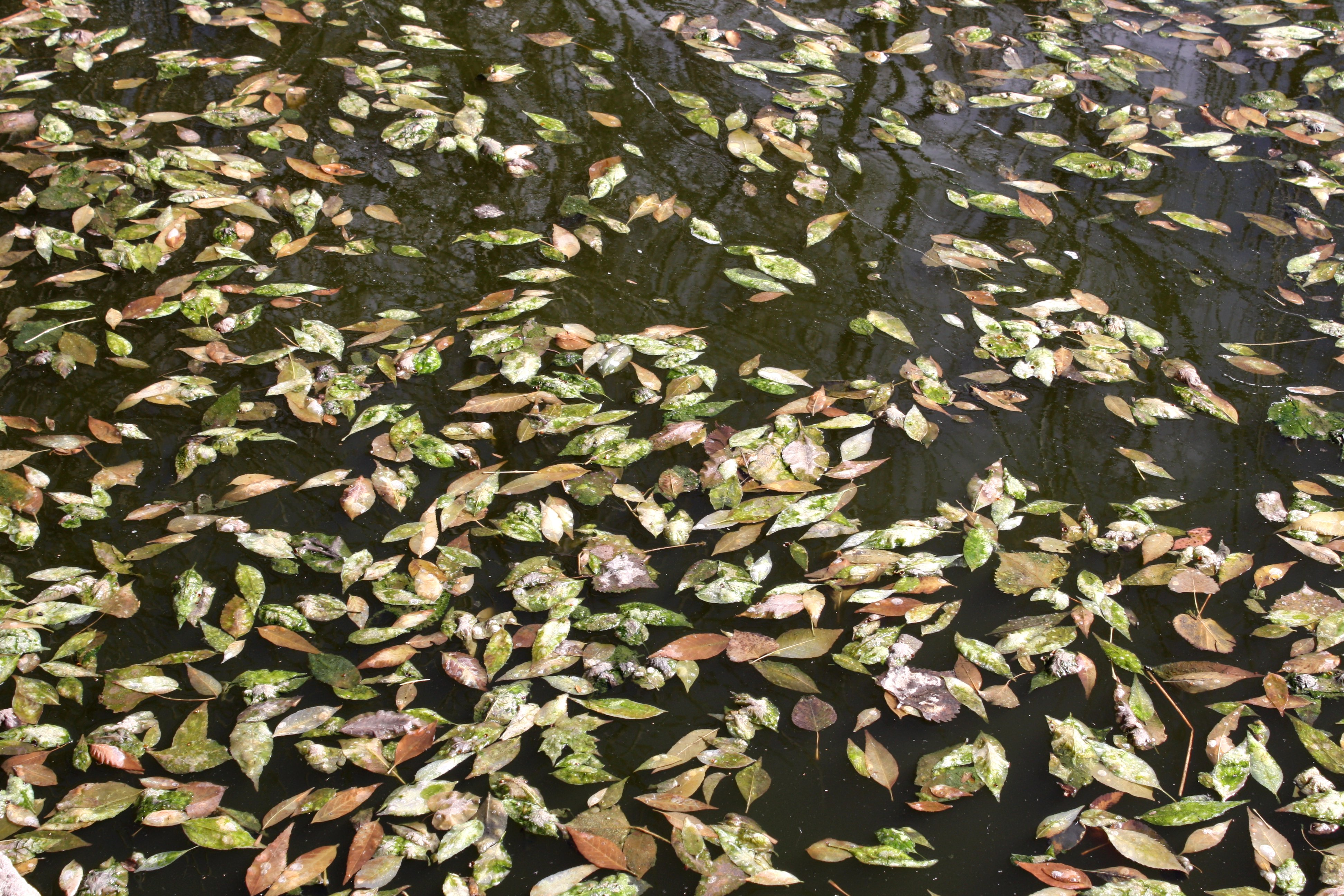 Leaves Floating On Water Texture Picture Free Photograph