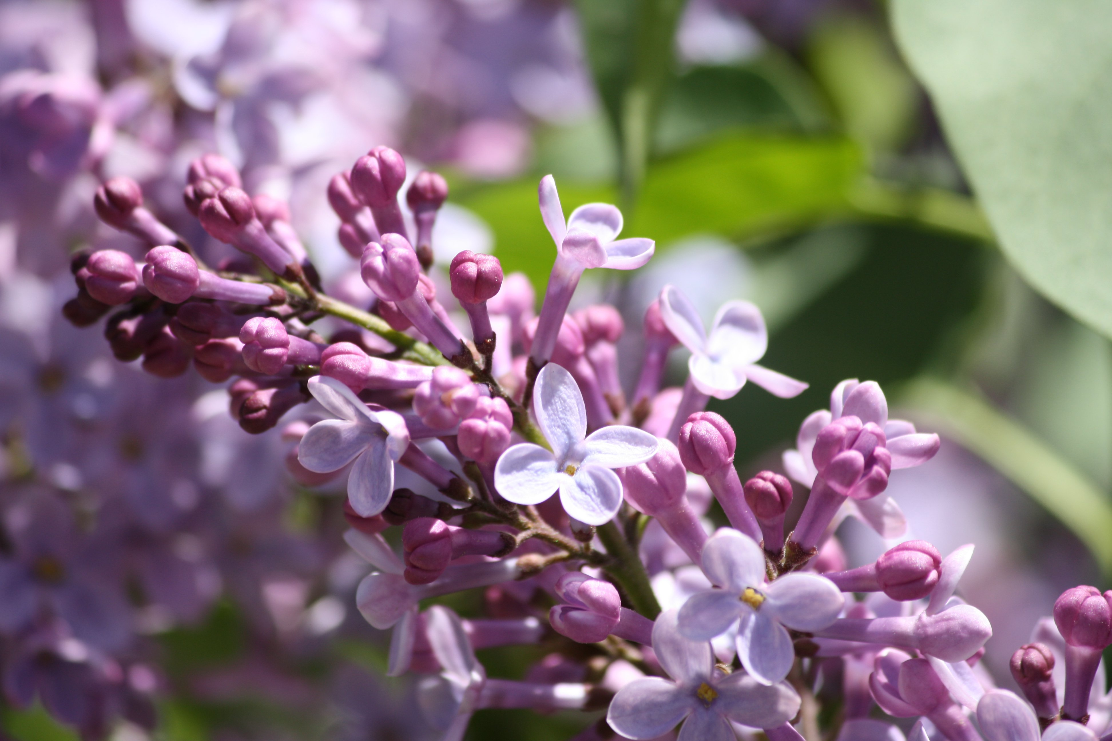 Lilac Flowers Starting to Bloom Picture Free graph