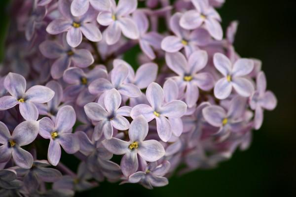 Lilacs Close Up - Free High Resolution Photo