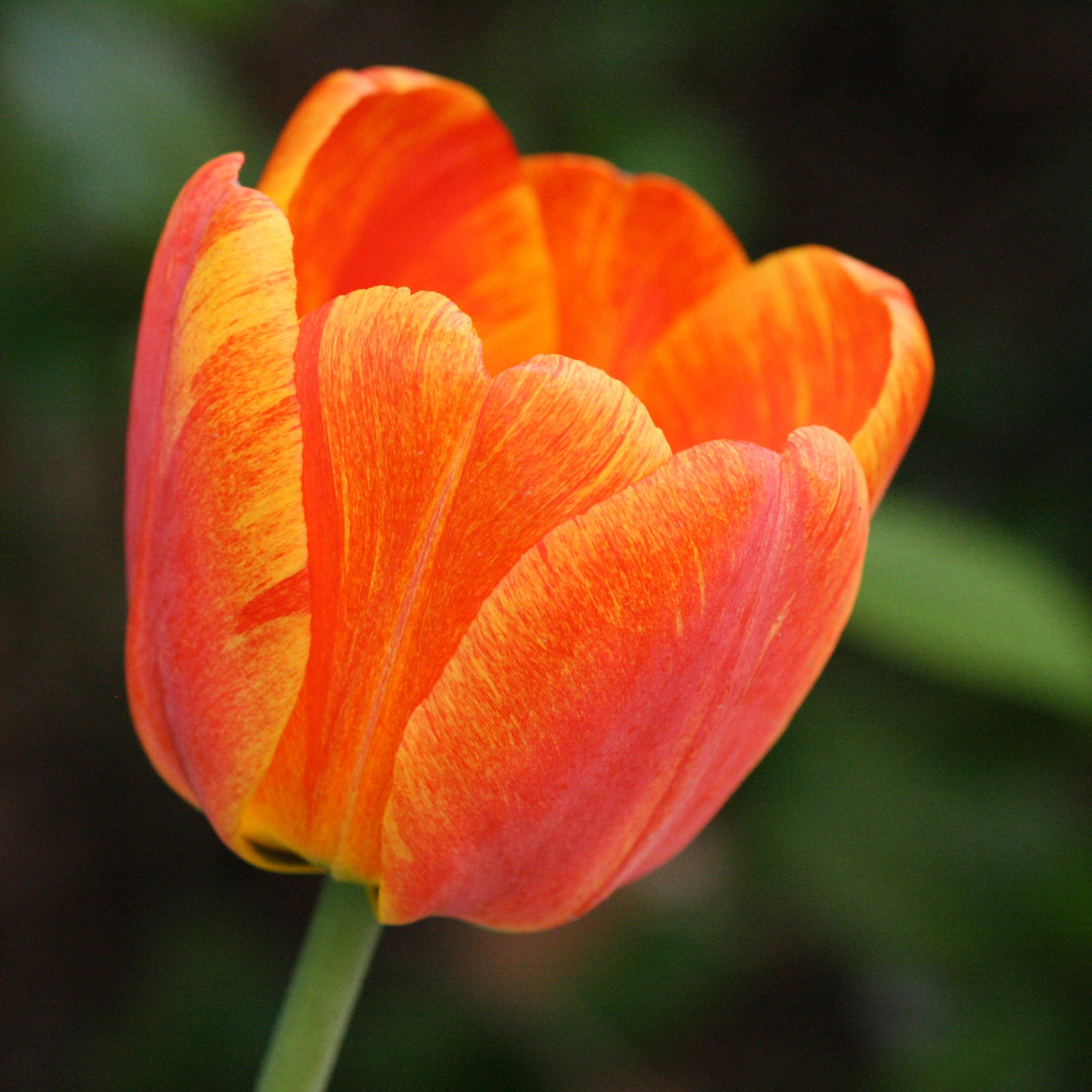 Orange Striped Or Variegated Tulip Picture Free