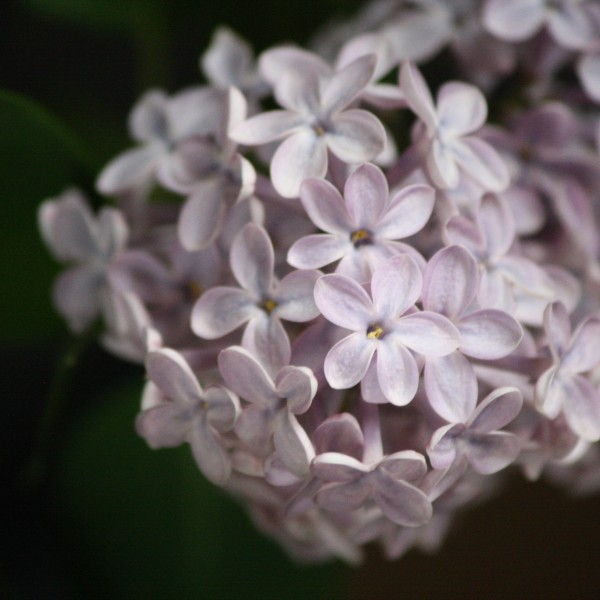 Pale Purple Lilacs - Free High Resolution Photo