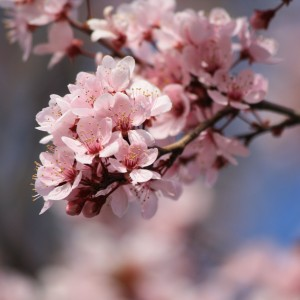 Pink Blossoms - Free High Resolution Photo