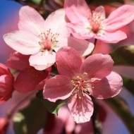 Pink Blossoms Close Up - Free High Resolution Photo