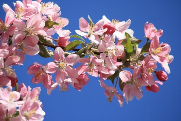 Pink Blossoms on Crabapple Tree - Free High Resolution Photo