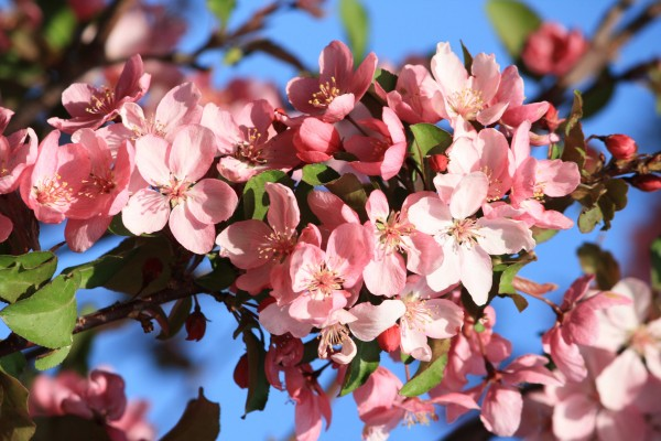 Pink Crabapple Blossoms - Free High Resolution Photo