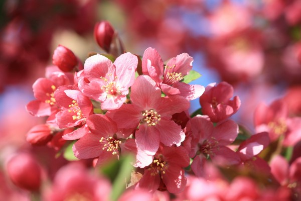 Pink Crabapple Blossoms Close Up - Free High Resolution Photo
