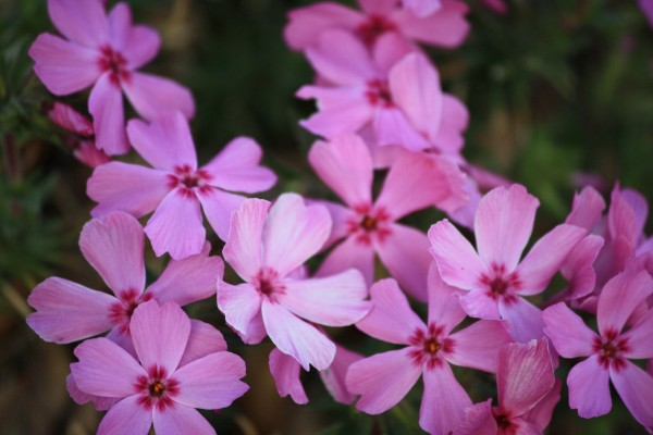 Pink Flowers on Creeping Phlox - Free High Resolution Photo