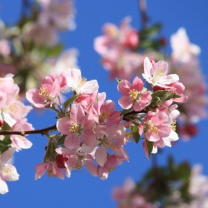 Pink Spring Blossoms - Free High Resolution Photo