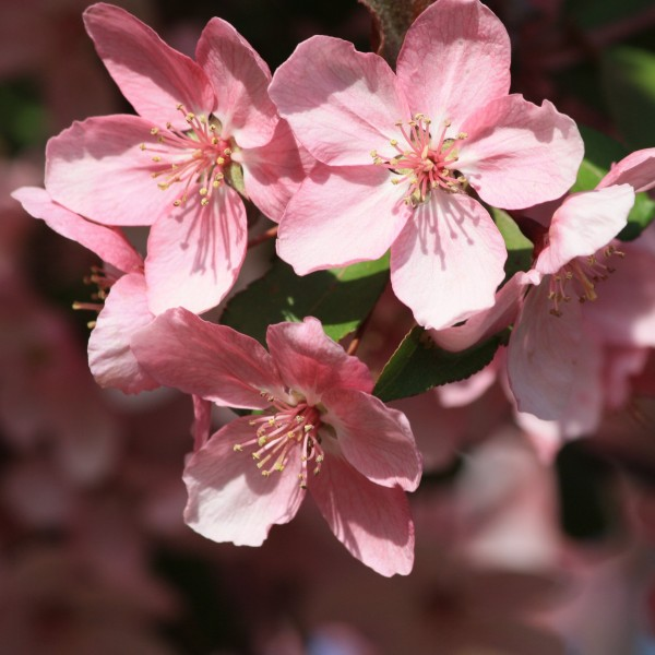 Pink Spring Blossoms Close Up - Free High Resolution Photo