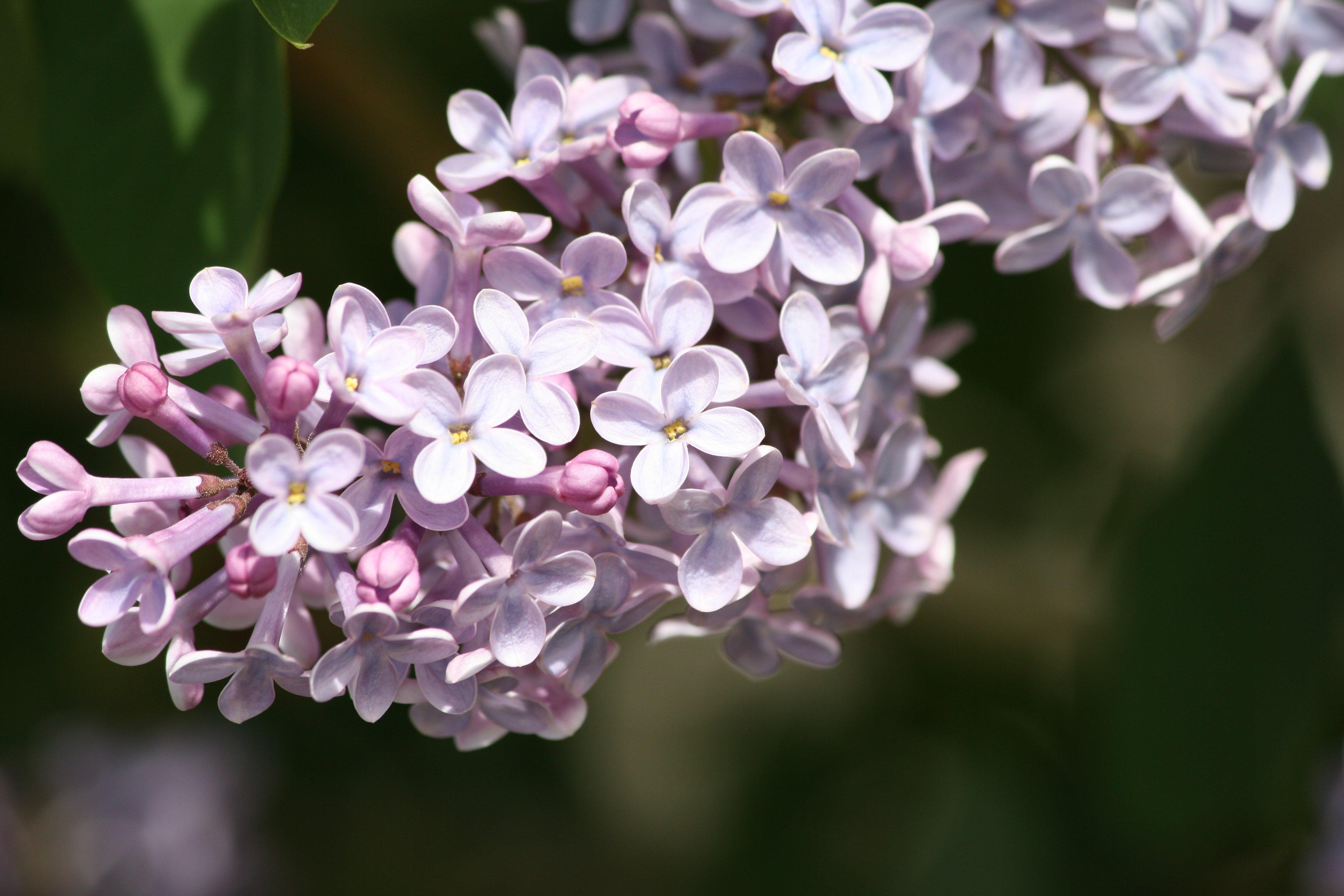 Purple Lilac Blossoms Picture Free Photograph Photos
