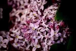 Purple Lilac Flowers - Free High Resolution Photo
