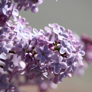 Purple Lilacs Close Up - Free High Resolution Photo