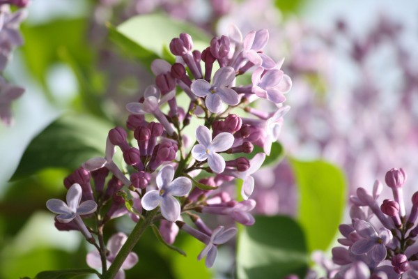 Purple Lilacs Starting to Bloom - Free High Resolution Photo