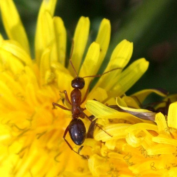 Red Ant Crawling on Yellow Dandelion Flower - Free Photo