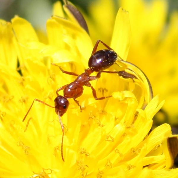 Red Ant on Dandelion - Free photo