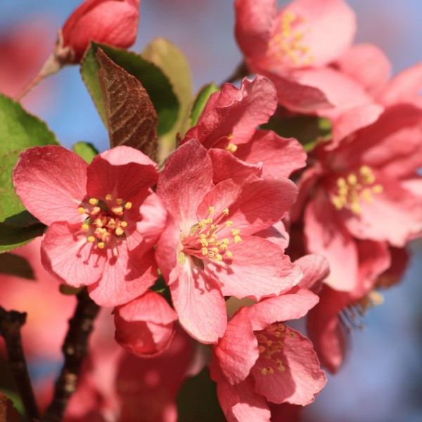 Red Crabapple Blossoms Close Up - Free High Resolution Photo