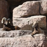 Rocky Mountain Bighorn Sheep - Free High Resolution Photo