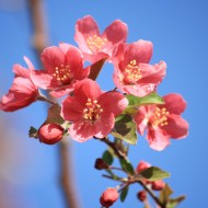 Salmon Pink Blossoms - Free High Resolution Photo