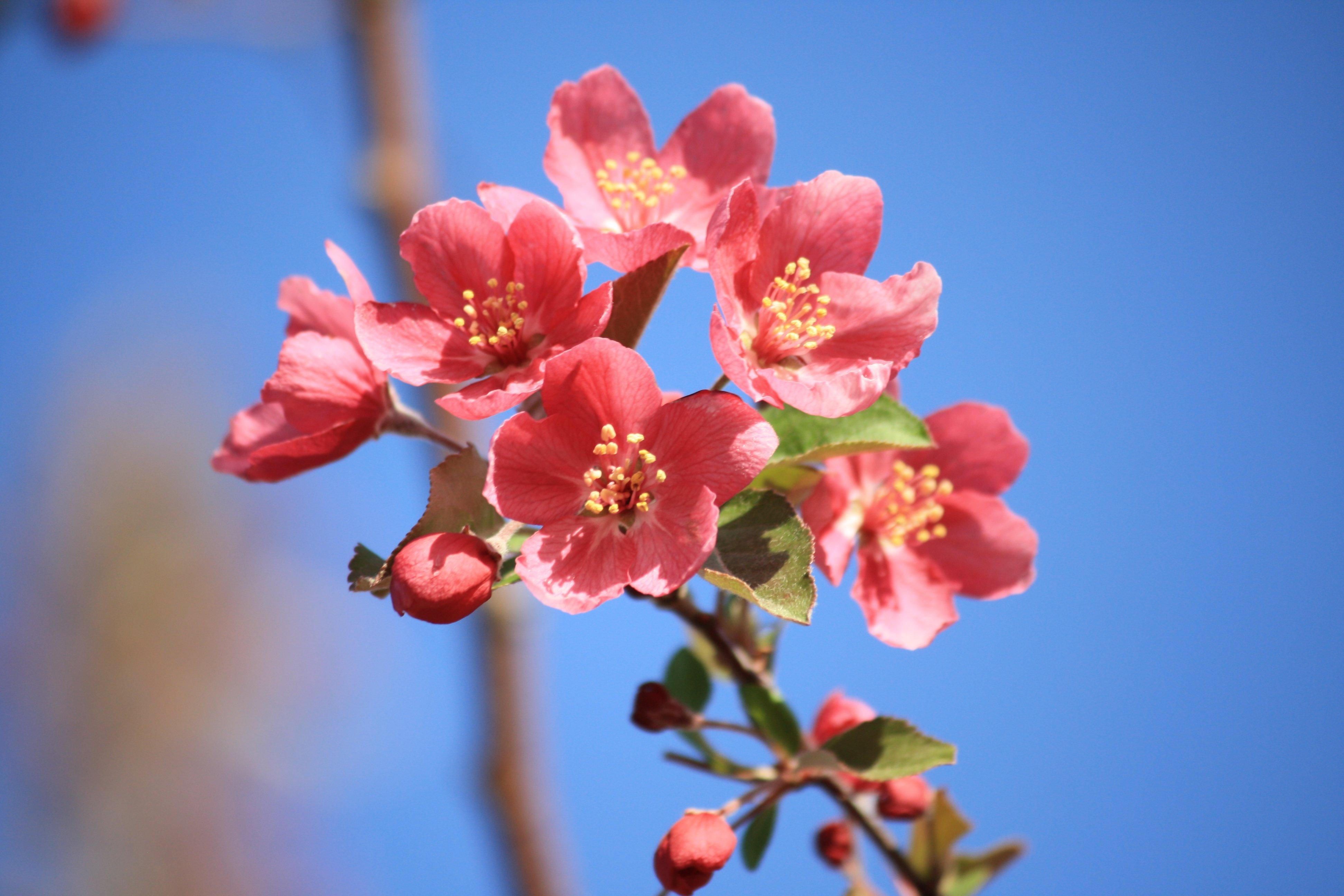 Salmon Pink Blossoms Picture | Free Photograph | Photos Public Domain
