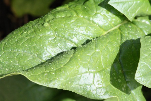 Spinach Leaf Close Up - Free High Resolution Photo