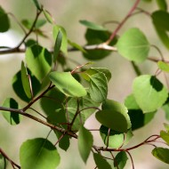 Spring Aspen Leaves - Free High Resolution Photo