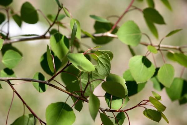 Spring Aspen Leaves - Free High Resolution Photo